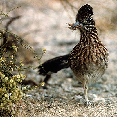close up picture of the great roadrunner in Joshua Tree National