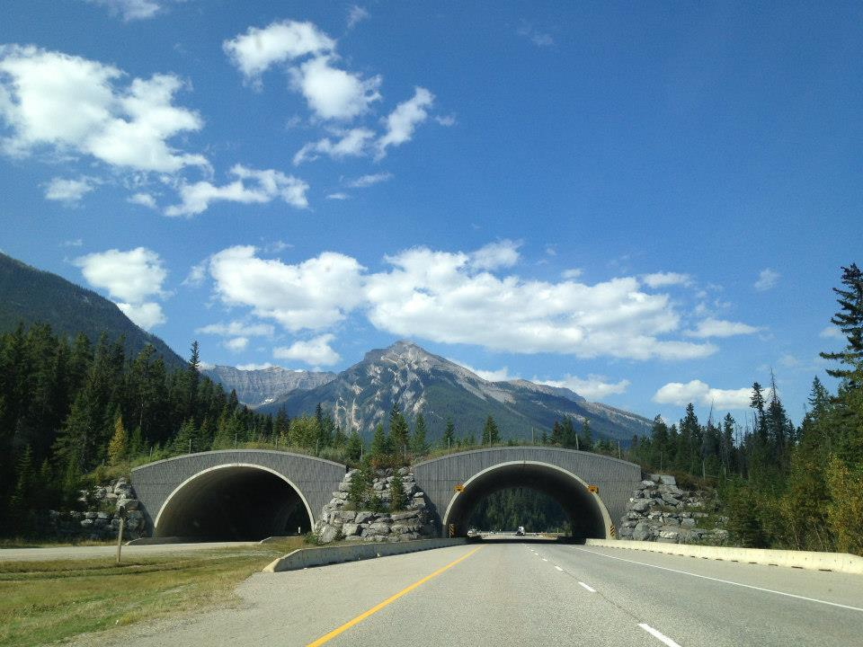 Alberta Trans Canada Highway. Image is in full colour on the highway looking towards an animal crossing with mountains in the background.