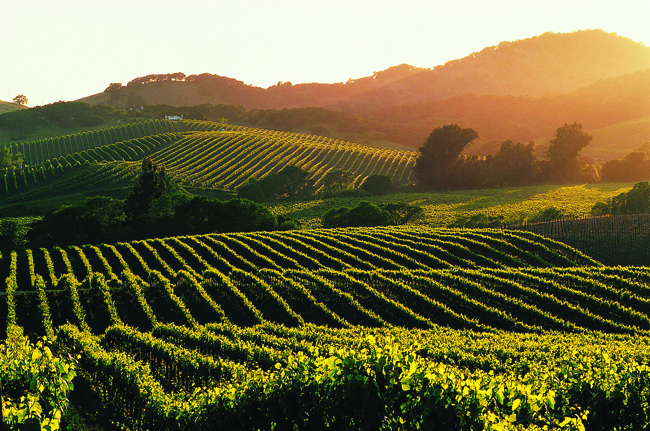 Sonoma Valley Wine Country. Image of grape fields in full colour with the sun setting on the right.