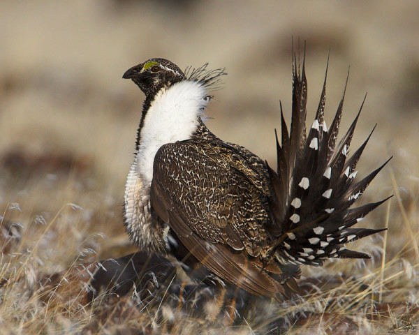 Wild Sage Grouse in the Grass