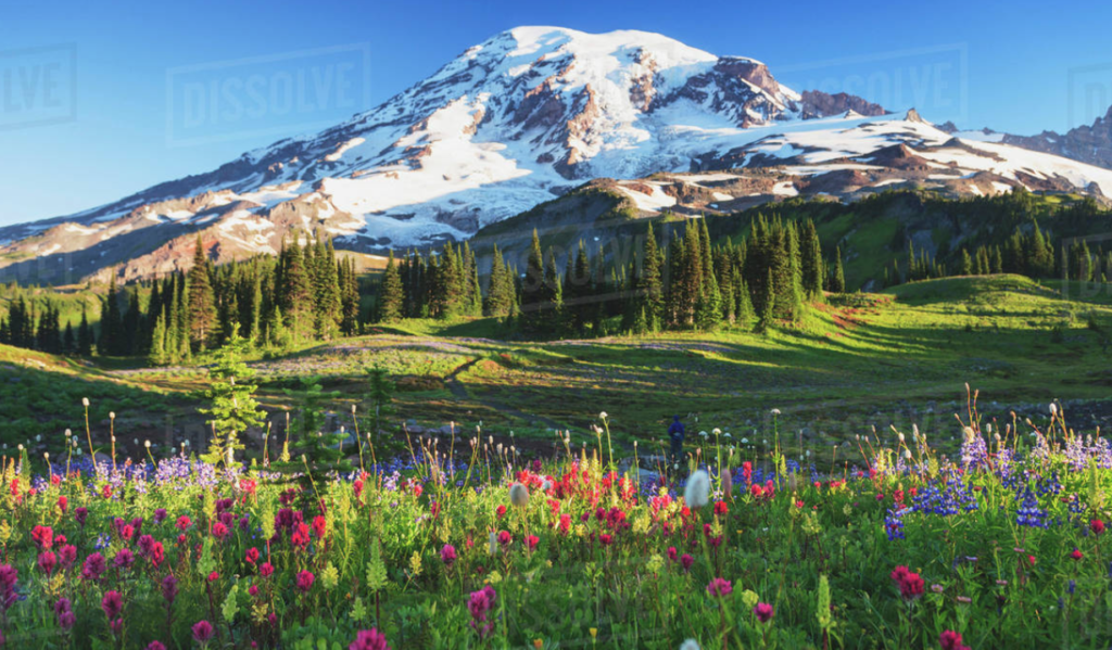 Mount Rainer and meadow of wild flowers