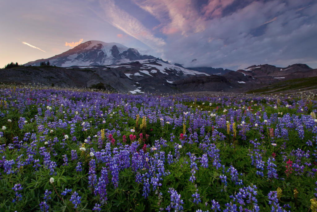Mt Rainier at sunset with a meadow of wild flowers