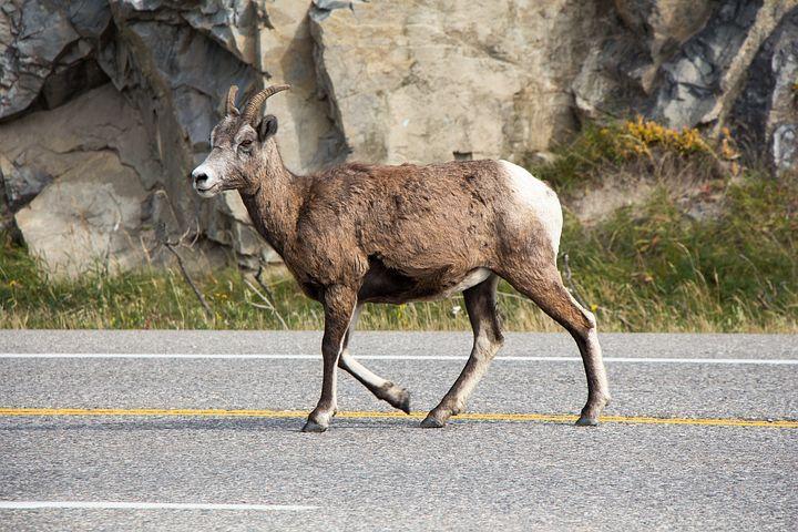 Mountain goat in Jasper National Park