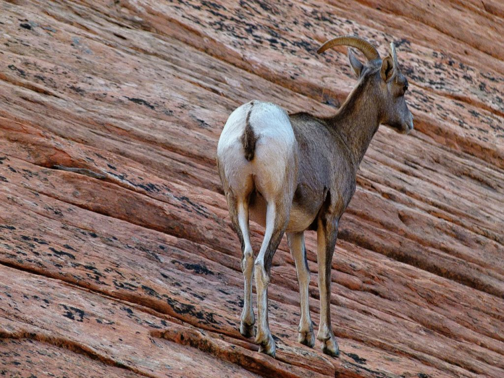 Mountain sheep in Zion National Park