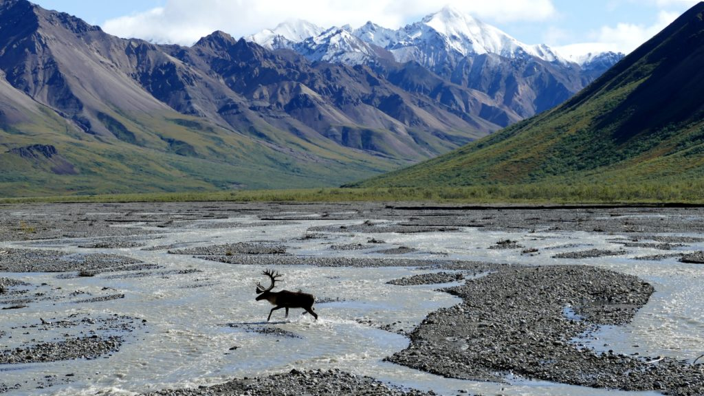 moose running on body of water in Denali national park